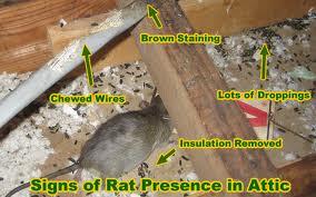 Professionals Rat control service